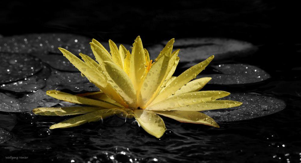 Gelbe Teichrose in Colorkey