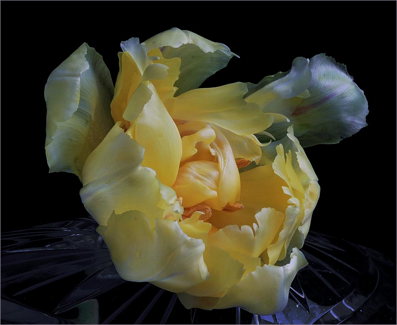Gelbe Tulipan