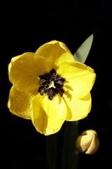 gelbe Tulpe
