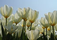 gelbe Tulpen auf Texel