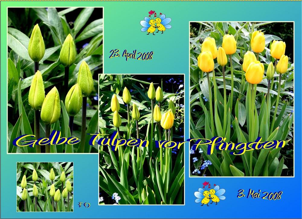 Gelbe Tulpen vor Pfingsten