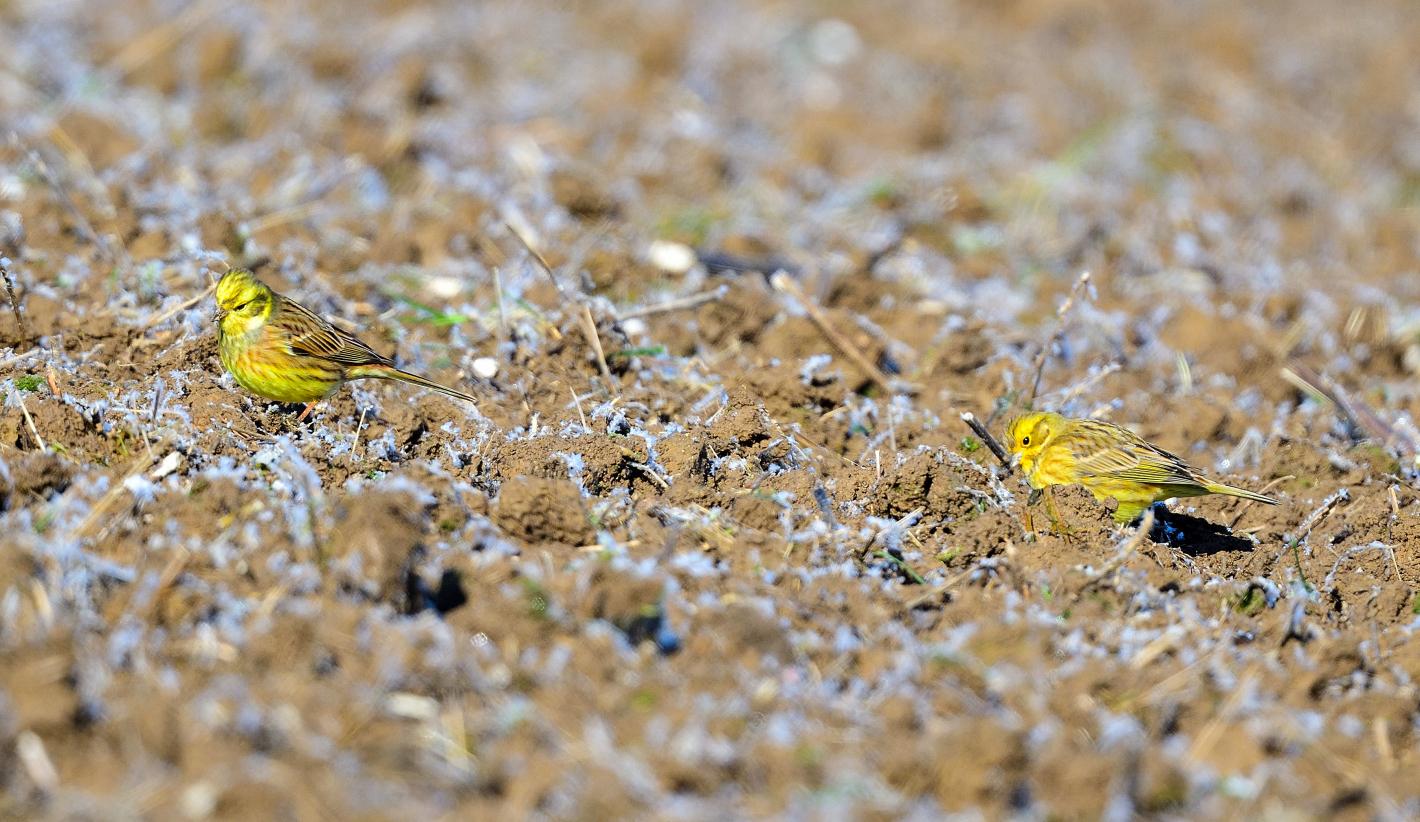 Gelbe Tupfer,  yellow swabs,  manchas amarillas