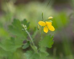 gelbe Wildblume
