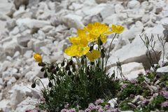 Gelber Alpenmohn (Papaver rhaeticum)...