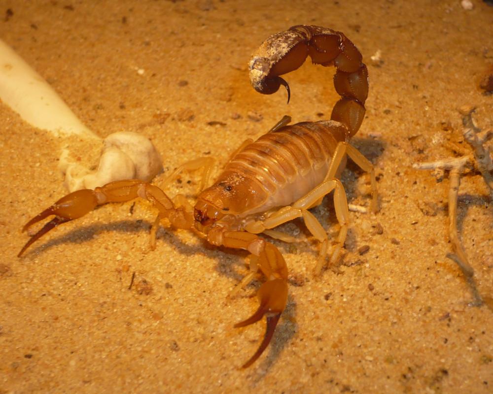 Gelber Dickschwanzskorpion (Androctinus australis)
