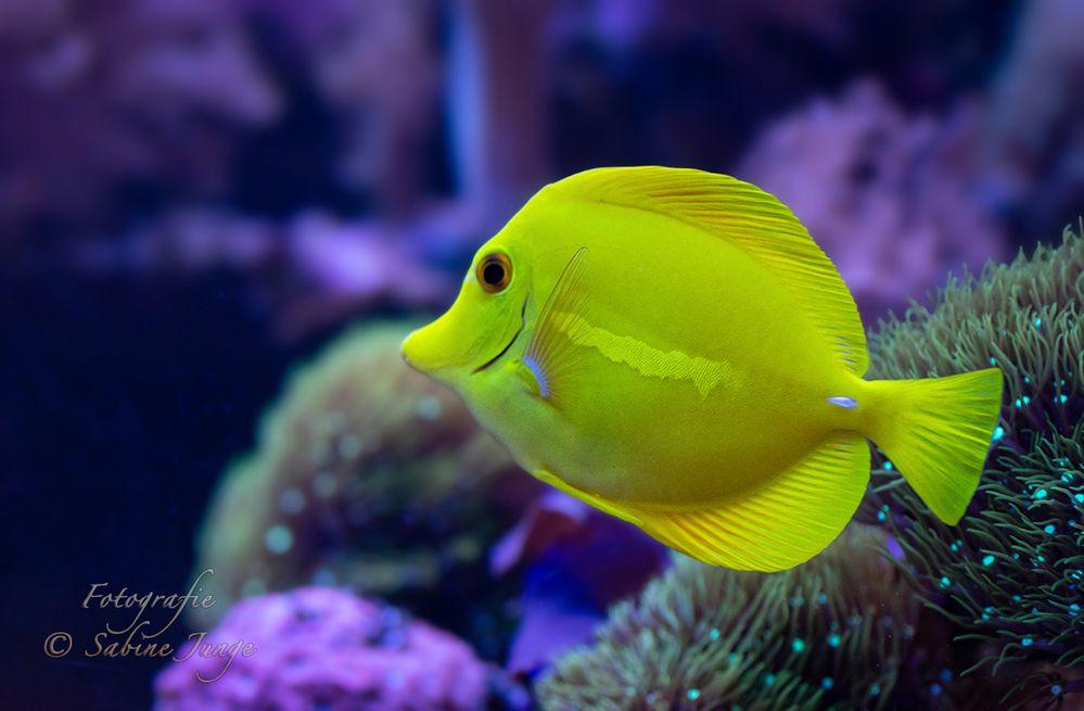 Gelber Doktorfisch