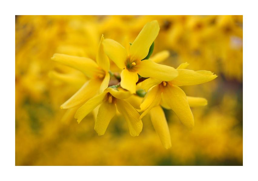 Gelber Frühlingsbote