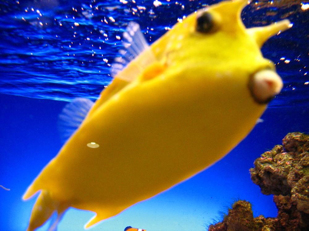 Gelber Kofferfisch