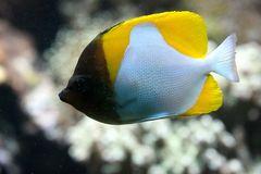 Gelber Pyramiden-Falterfisch