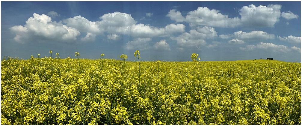 Gelber Raps und weiße Wolken