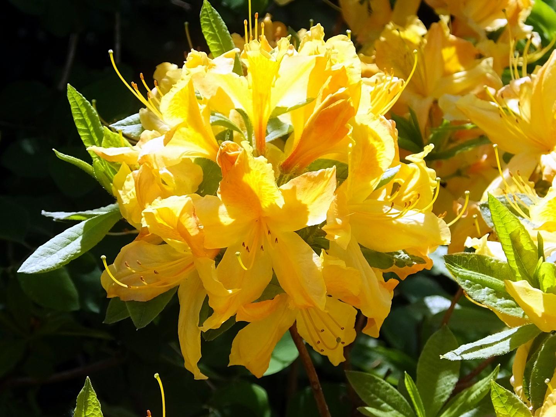 gelber rhododendron foto bild pflanzen pilze flechten str ucher rhododendron bilder auf. Black Bedroom Furniture Sets. Home Design Ideas