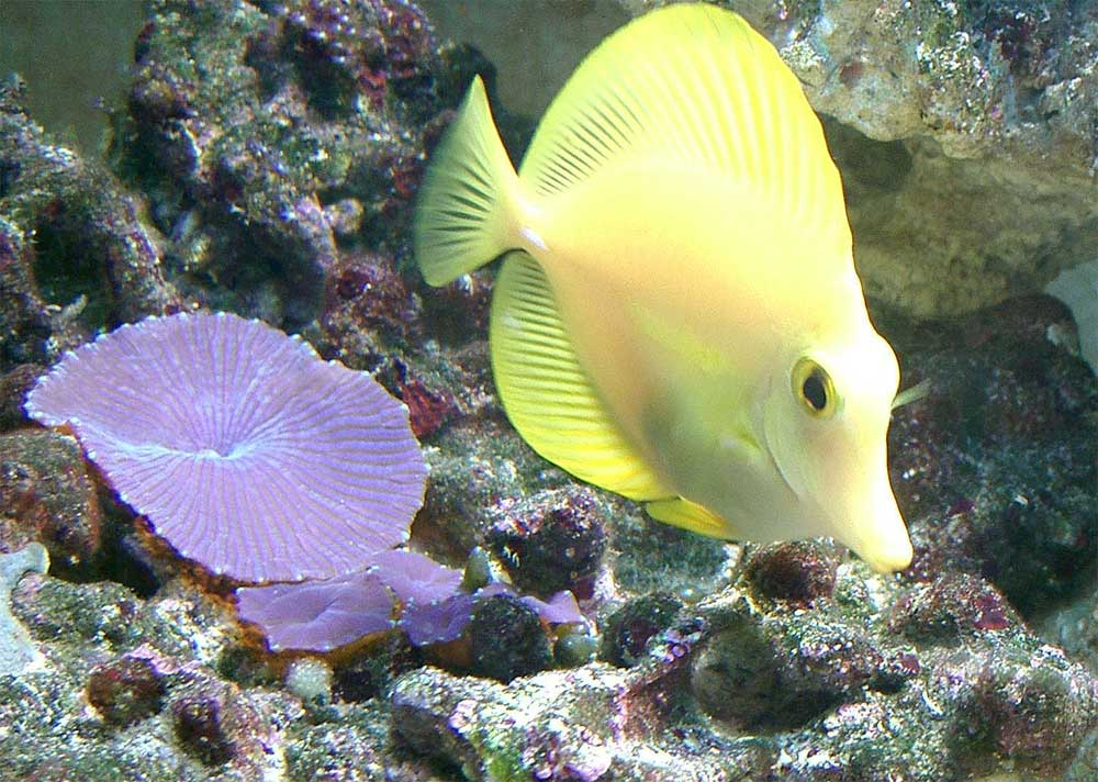 Gelber Seebader und Scheibenanemonen