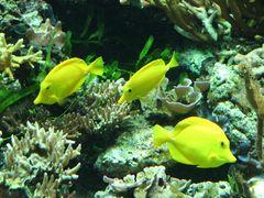 Gelber Segeldoktorfisch 02