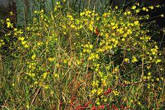 gelber Strauch