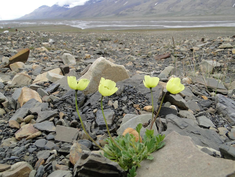 Gelber Svalbardmohn