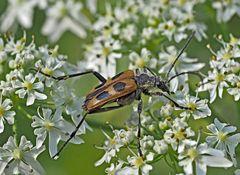 Gelber Vierfleckbock (Pachyta quadrimaculata) - Le Pachyte à quatre taches.