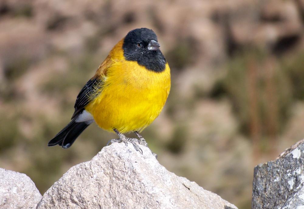 Gelber Vogel, Atacama, Chile (2007)