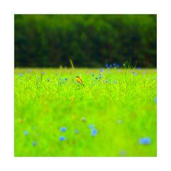 gelber vogel auf gruenen raps an blauen kornblumen