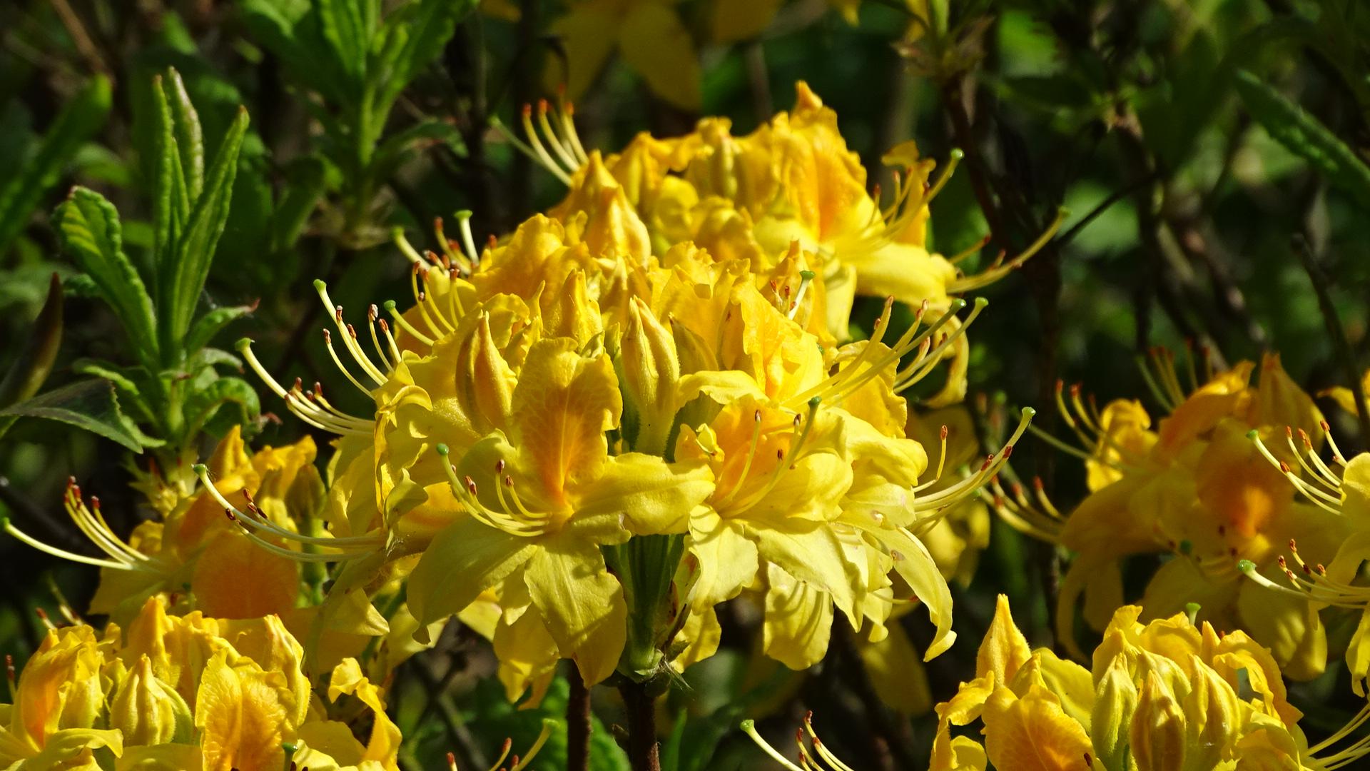 Gelbes Blütenmeer
