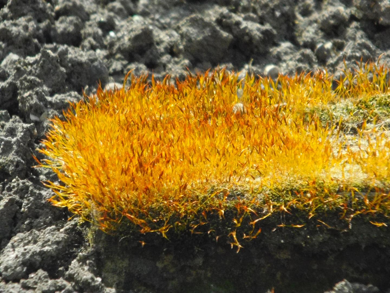 Gelbes moos foto bild pflanzen pilze flechten for Moos bilder pflanzen
