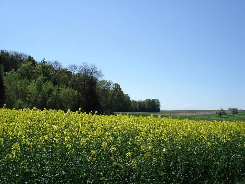 Gelbes Rapsfeld bei Altnau TG