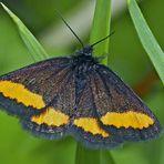 Gelbgebänderter Flachstirnspanner (Psodos quadrifaria) - Le Ruban fauve.