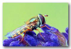 Gelbhaarige Wiesenschwebfliege - Epistrophe melanostoma
