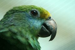 Gelbmasken Amazone