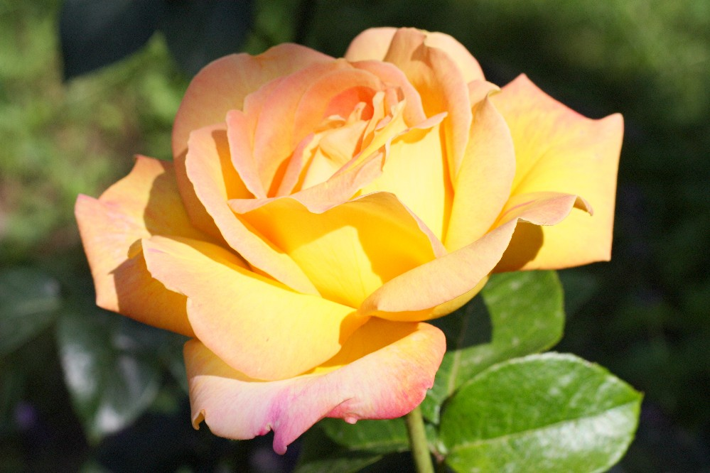 gelbrosa rose