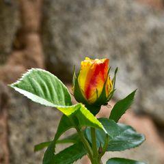 gelbrote Rose