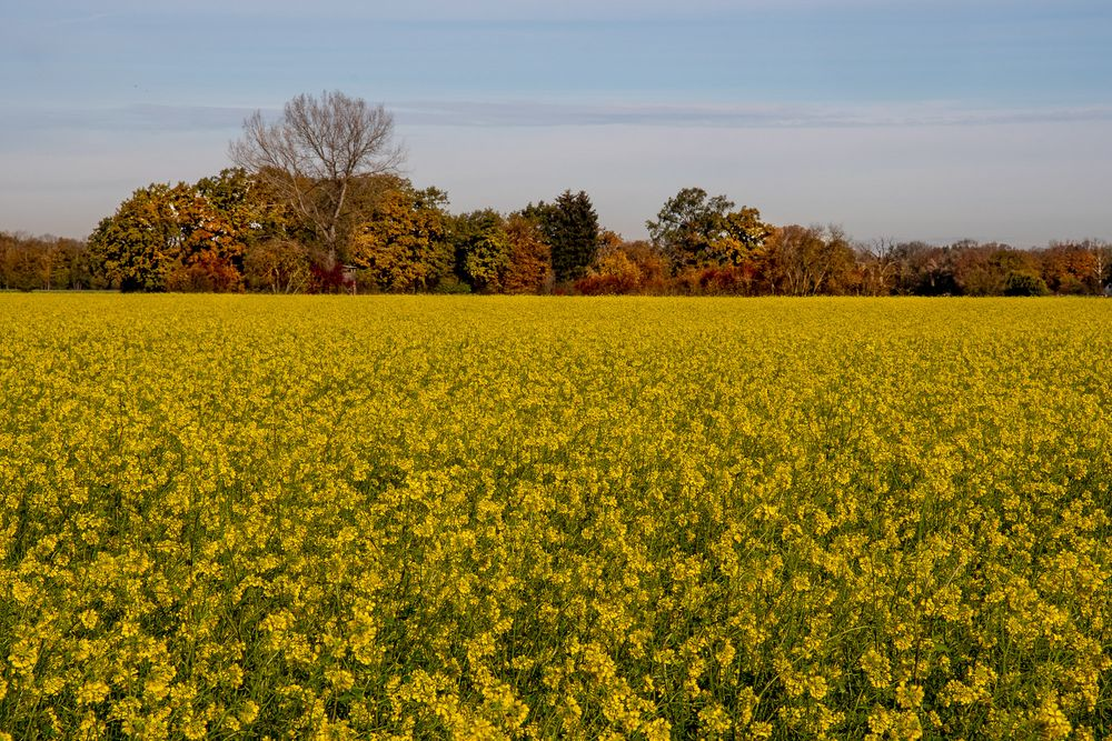 Gelbsenf im Herbst