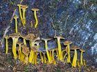 Gelbstielige Trompetenpfifferlinge