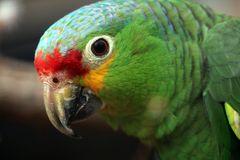 Gelbwangen Amazone
