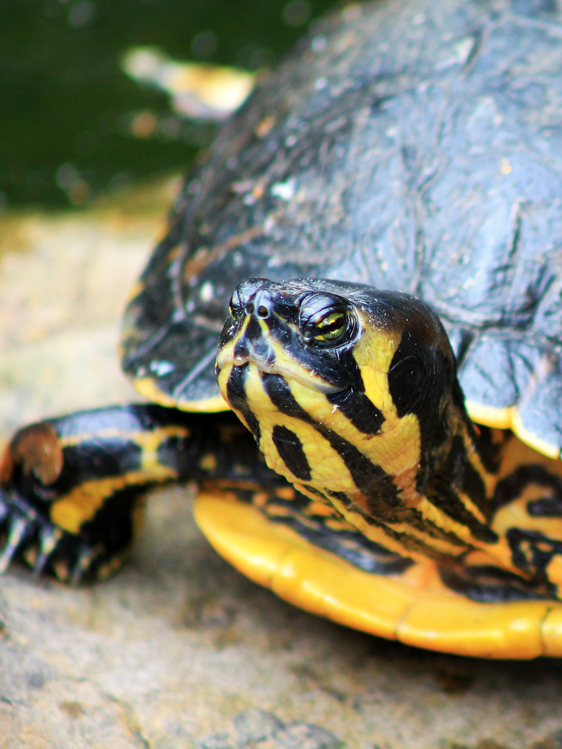 Gelbwangen-Schmuckschildkröte?