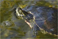 Gelbwangen Schmuckschildkröte (Neuwieder Zoo)