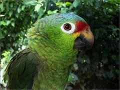 gelbwangenamazone / red-lored parrot / amazona autumnalis (34 cm)