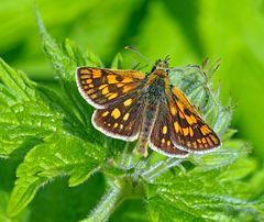 Gelbwürfeliger Dickkopffalter  (Carterocephalus palaemon)  -  Papillon de jour.