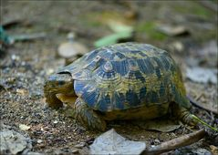Gelenkschildkröte