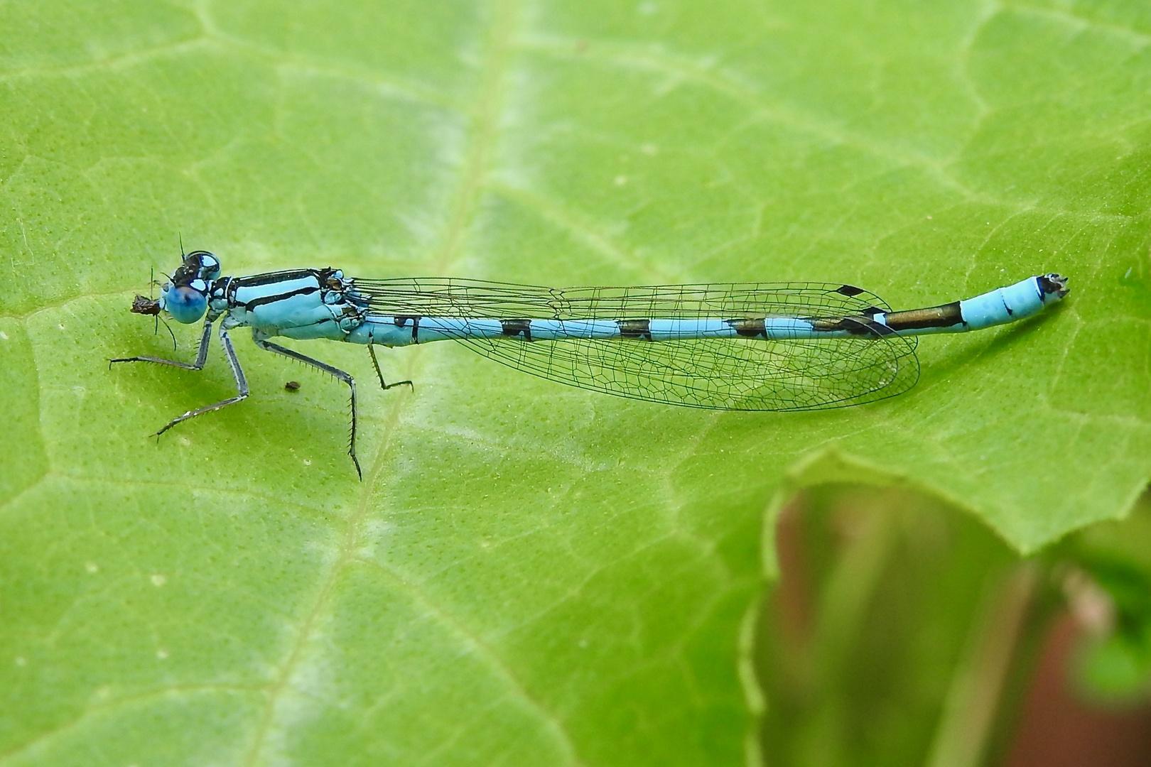 Gemeine Becherjungfer (Enallagma cyathigerum)