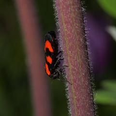 Gemeine Blutzikade (Cercopis vulnerata)