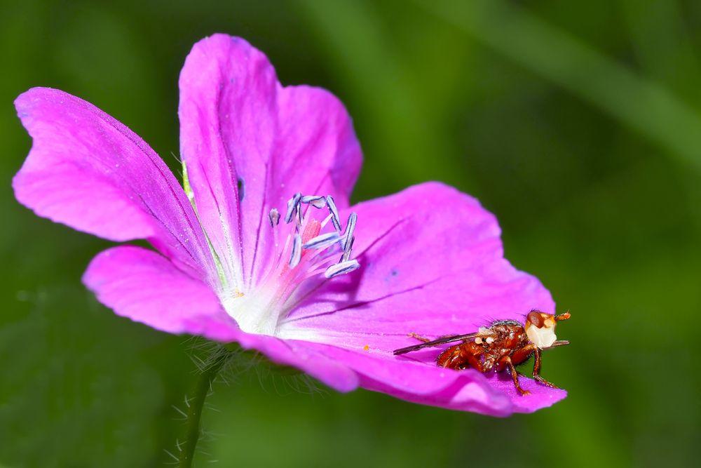 Gemeine Breitstirnblasenkopffliege (Sicus ferrugineus)