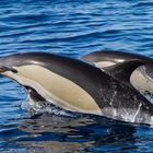 Gemeine Delphine vor La Palma