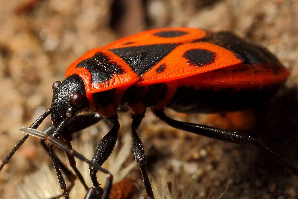 Gemeine Feuerwanze (Pyrrhocoris apterus)  (I)