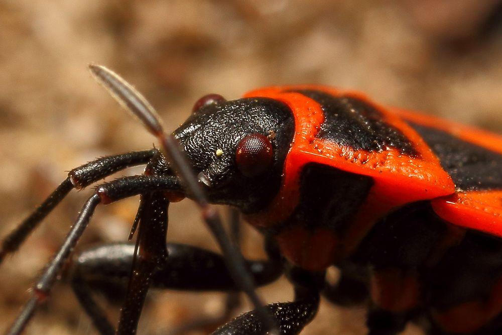 Gemeine Feuerwanze (Pyrrhocoris apterus) (II)