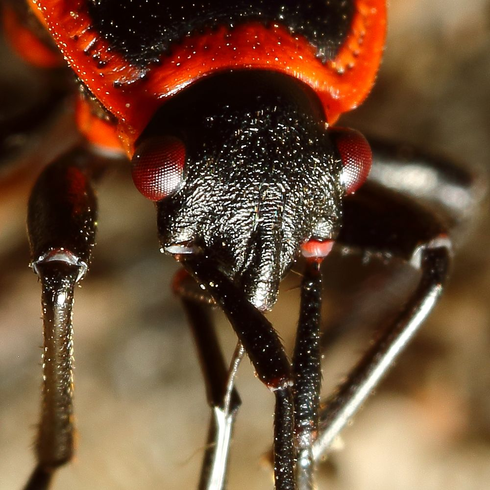 Gemeine Feuerwanze (Pyrrhocoris apterus) (III)