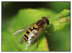 Gemeine Garten-Schwebfliege (Syrphus ribesii) - Weibchen