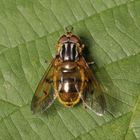 Gemeine Goldschwebfliege (Ferdinandea cuprea)