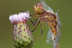 Gemeine Heidelibelle