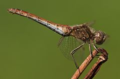 Gemeine Heidelibelle, altes Weibchen