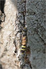 Gemeine Keulenwespe (Sapyga clavicornis)